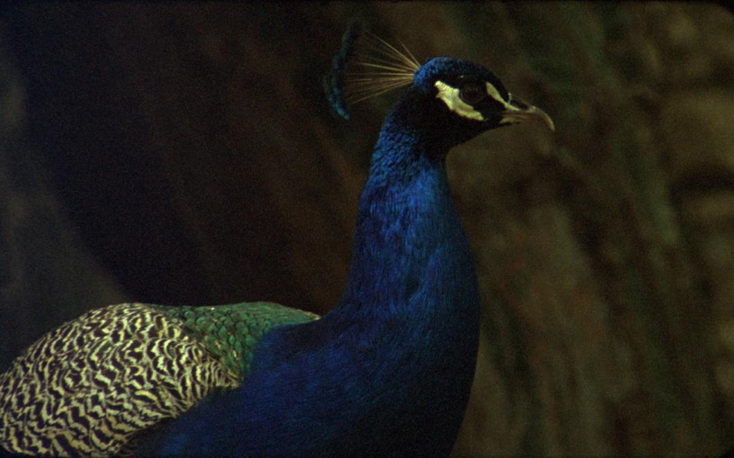A still from Occidente by Ana Vaz. A close up of a peacock.